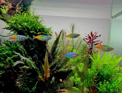 Fish Feature: The Colours of the Rainbowfish Family