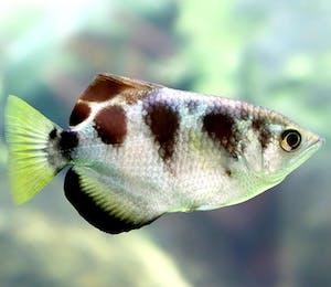 Archerfish