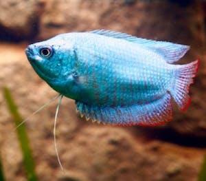Cobalt Blue Gourami