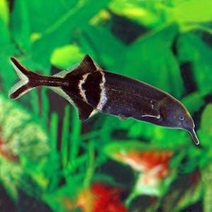 Elephantnose Fish