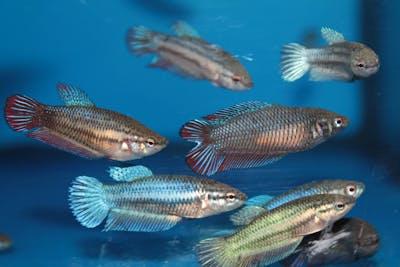Female Betta Fish (Assorted)