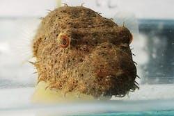 Hairy Puffer