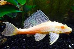 Albino Sucker Fish