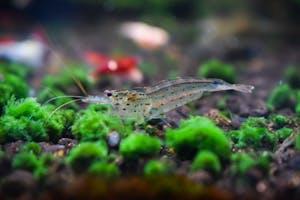 Amano Shrimp (large)