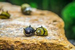 Horn Nerite Snail (5 pieces)