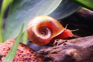 Red Apple Snail (5 pieces)