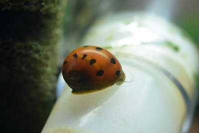 Red Spotted Nerite Snail (5 pieces)
