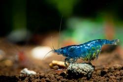 Royal Blue Shrimp