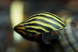 Zebra Nerite Snail (5 pieces)