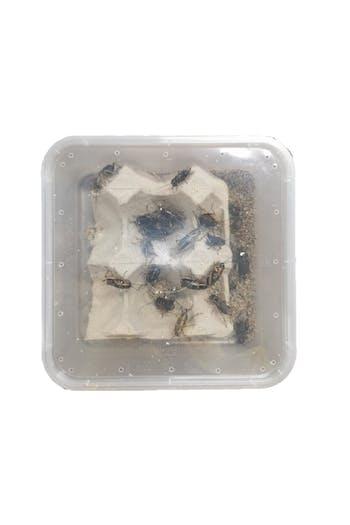 Crickets (tub)