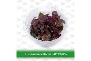 Aquatic Farmer Alternanthera Lilacina