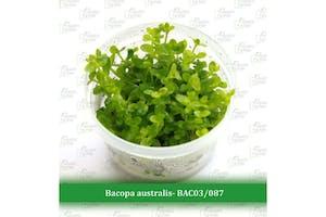 Aquatic Farmer Bacopa Australis