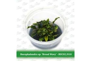 Aquatic Farmer Bucephalandra 'Broad Wavy'