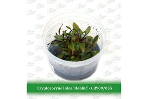"Aquatic Farmer Cryptocoryne Lutea ""Hobbit"""