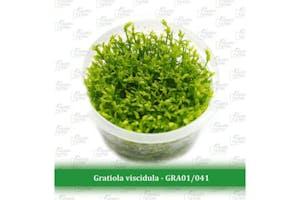 Aquatic Farmer Gratiola Viscidula