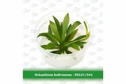 Aquatic Farmer Helanthium Bolivianum