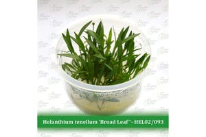 """Aquatic Farmer Helanthium Tenellum 'Broad Leaf"""""""