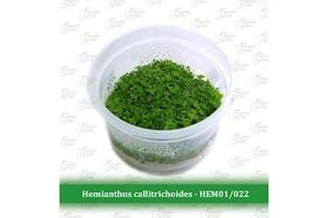 Aquatic Farmer Hemianthus Callitrichoides