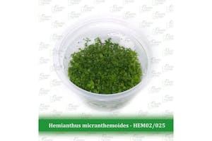 Aquatic Farmer Hemianthus Micranthemoides