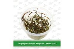 Aquatic Farmer Hygrophila Lancea 'Araguaia'