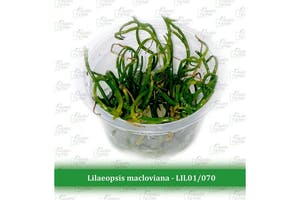 Aquatic Farmer Lilaeopsis Macloviana