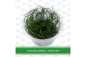 Aquatic Farmer Littorella Uniflora