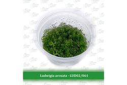 Aquatic Farmer Ludwigia Arcuata