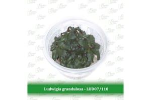 Aquatic Farmer Ludwigia Grandulosa
