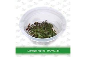 Aquatic Farmer Ludwigia Repens