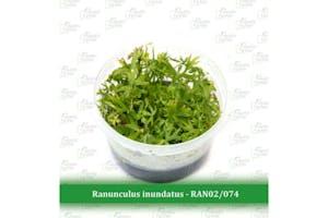 Aquatic Farmer Ranunculus Inundatus