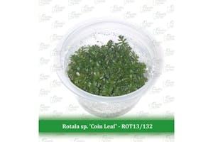 Aquatic Farmer Rotala sp. 'Coin Leaf'