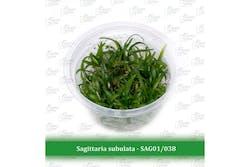 Aquatic Farmer Sagittaria Subulata