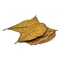 ANS Catappa Leaf XL (5pcs)