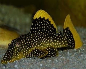 Pleco L81 (Fine Spot Gold Nugget)