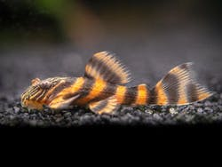 Pleco L397 (Alenquer Tiger)