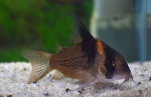 Corydoras CW27 (Highfin)