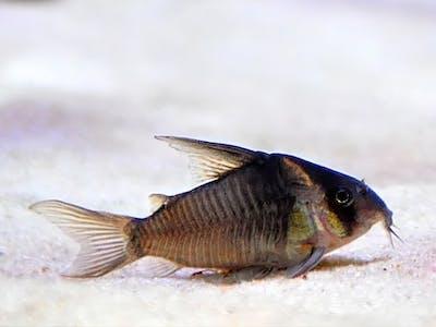 Corydorus CW45 (False Armatus)