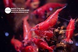 Shrimp - Fire Red