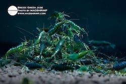 Shrimp - Green Jade