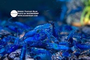 Shrimp - Fantasy Blue