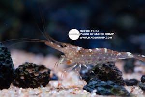 Shrimp - Taipa