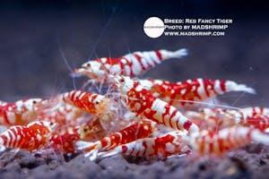 Shrimp - Red Fancy Tiger