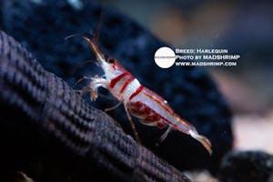 Shrimp - Harlequin
