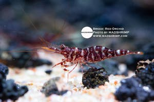 Shrimp - Red Orchid
