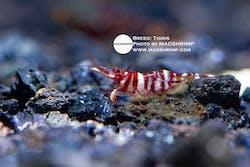 Shrimp - Tigris