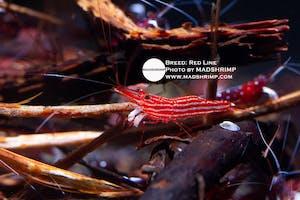 Shrimp - Red Line