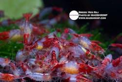 Shrimp - Red Rili