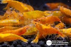 Shrimp - Sunkist