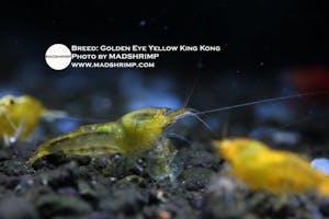 Shrimp - Golden Eye Yellow King Kong