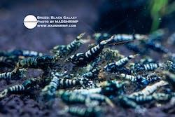 Shrimp - Black Galaxy with White Stripes